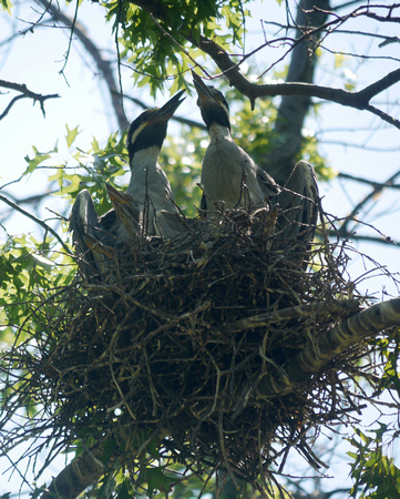 The Yellow-Crowned Night Heron Family at Home, Governor's Island