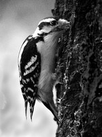Downy Woodpecker, Central Park