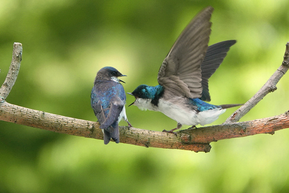 Tree Swallow flirtation, Central Park