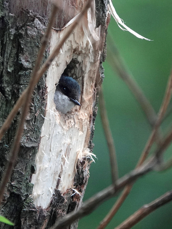 Tree Swallow at nest, Central Park