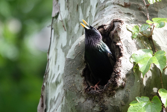 Starling at nest