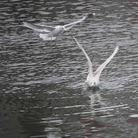 Iceland and Ring-billed Gulls, Sheepshead Bay