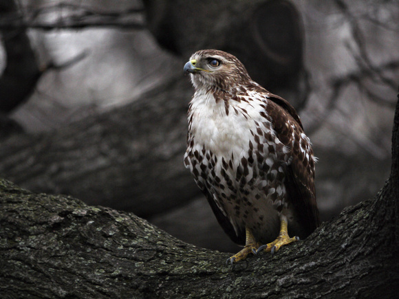 Red-Tailed Hawk, Theodore Roosevelt Park