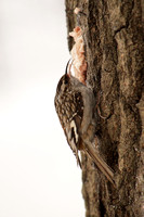 Tasty snack for a Brown Creeper