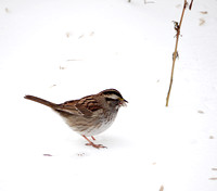White-Throated Sparrow in snow, Central Park