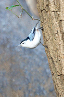 White-Breasted Nuthatch, Central Park