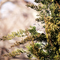 Mockingbird in Juniper Tree, Carl Schurz Park