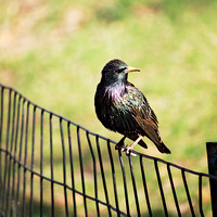 Glorious Starling