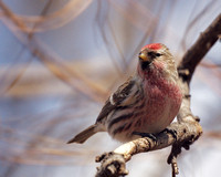 House Finch, Central Park