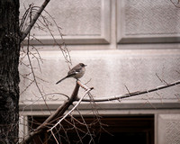 Mockingbird, Central Park West