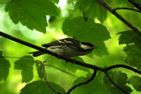 Blackpoll, closer