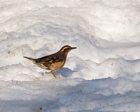 Ed Gaillard: recent &emdash; Varied Thrush, Central Park (2011)