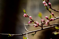 cherry tree in bud / I finally show the photo / when the blossoms fall