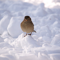 House Sparrow in snow, Central park
