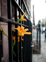 Chelsea:  Daylily, Fence