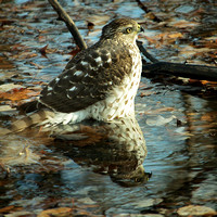 Hawk in a pool