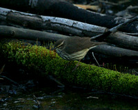 Northern Waterthrush, Central Park