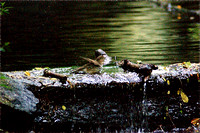 Veery, bathing