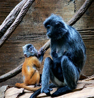 Langur Mother and Child