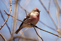 Common Redpoll, Central Park