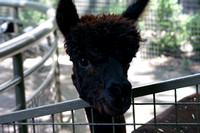 Alpaca keeping an eye on you