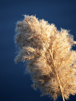 Phragmites, Central Park Reservoir