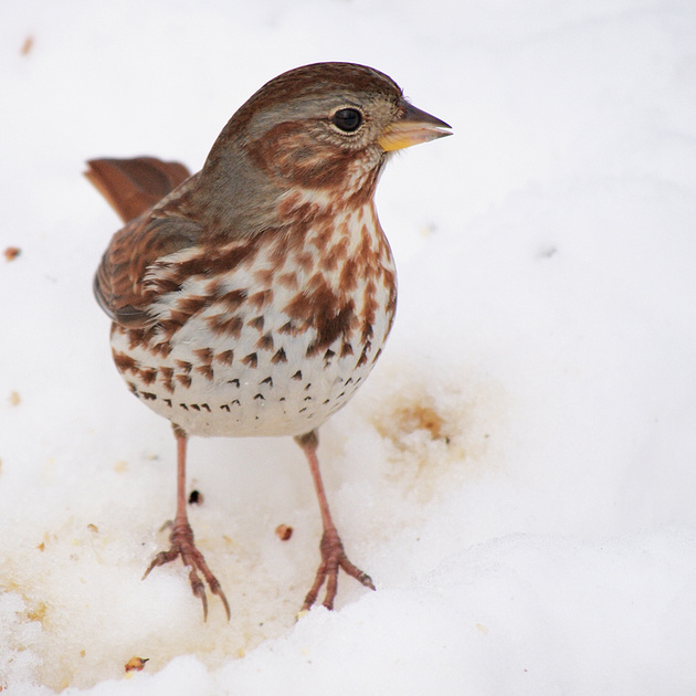 Ed Gaillard: recent &emdash; Fox Sparrow, Central Park