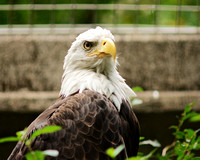 Bald Eagle, Bronx Zoo