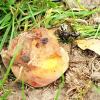 Wasps fighting over a rotting peach