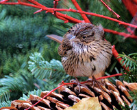 Lincoln's Sparrow, Bryant Park
