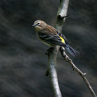 Yellow-Rumped Warbler, Central Park
