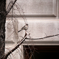 Northern Mockingbird, Central Park West