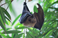 Fruit Bat, Central Park Zoo