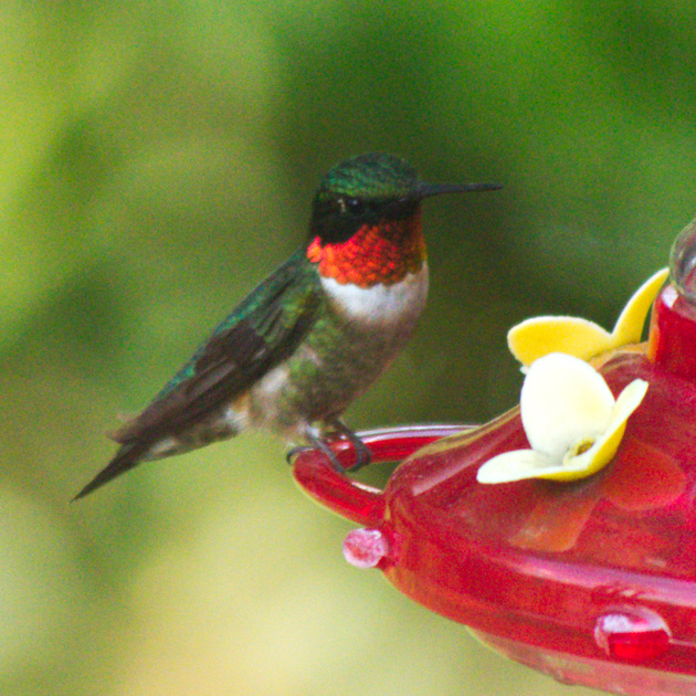 Ed Gaillard: birds &emdash; Ruby-Throated Hummingbird, Traveler Food & Books