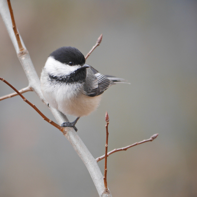Ed Gaillard: birds &emdash; Black-Capped Chickadee, NY Botanical Garden
