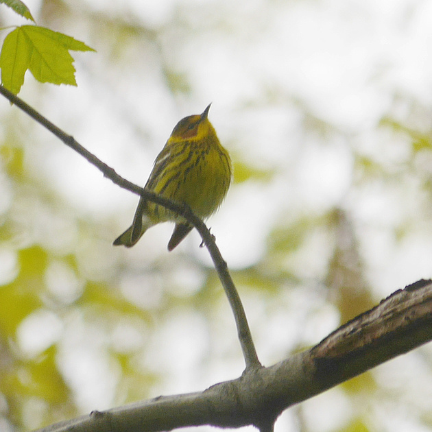 Ed Gaillard: birds &emdash; Cape May Warbler, Central Park