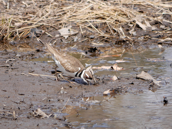 Ed Gaillard: birds &emdash; Killdeer, Roseland NJ