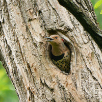 Northern Flicker in nest hole, Central Park