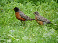 American Robin parent and fledgling, Central Park
