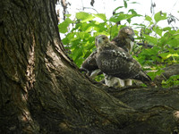 Fedgling Red-Tailed Hawks, Central Park