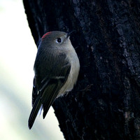 Ruby-crowned Kinglet, Central Park