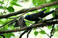 Grackle feeding young, Central Park