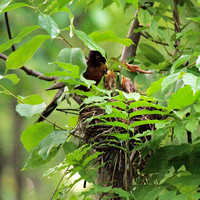 Robin feeding nestlings, Central Park