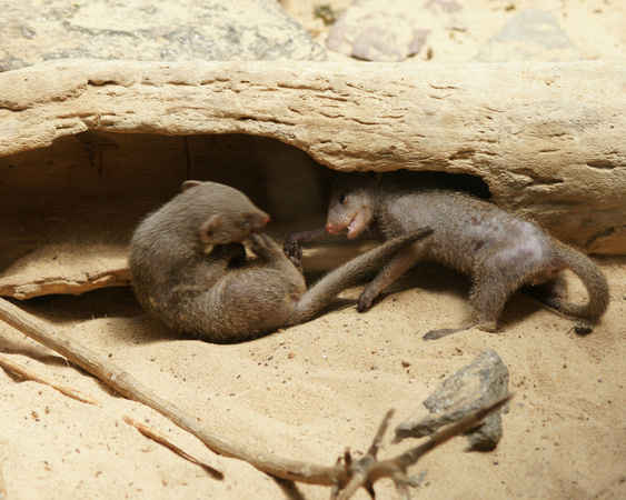 Dwarf Mongooses, Central Park Zoo