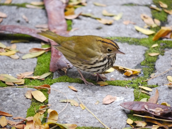 Ovenbird, Fifth Avenue (New York Public Library)