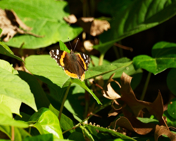 Red Admiral butterfly, Central Park