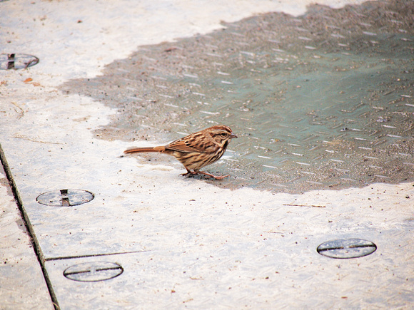 Song Sparrow, Bryant Park