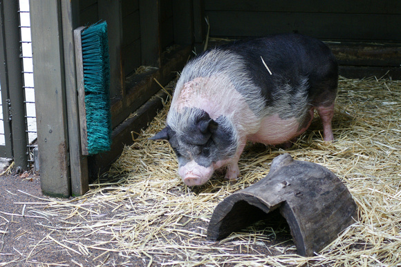 Pot-Bellied Pig, Central Park Zoo