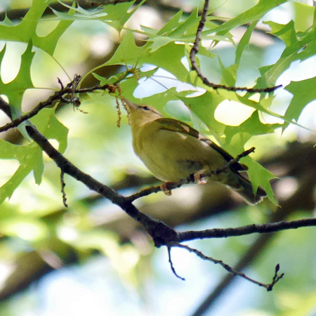 Worm-Eating Warbler, Central Park