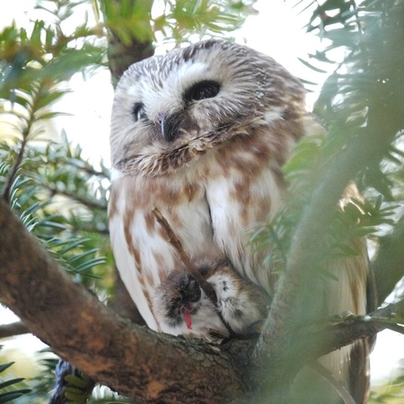 Northern Saw-Whet Owl, Central Park